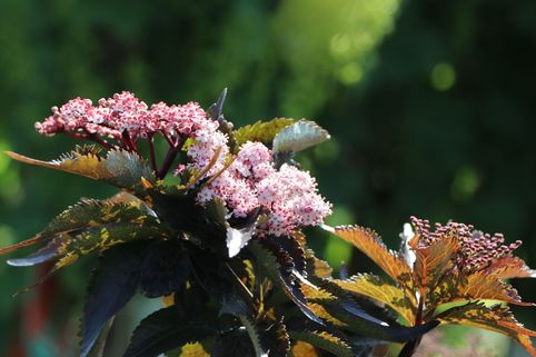 Rotlaubiger Säulen-Holunder 'Black Tower' ® - Sambucus nigra 'Black Tower' ®