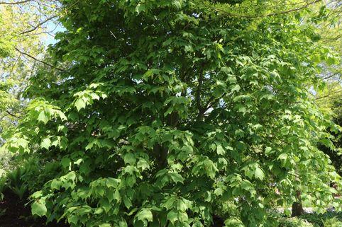 Rotnervige Schlangenhaut-Ahorn / Rostbart-Ahorn - Acer rufinerve