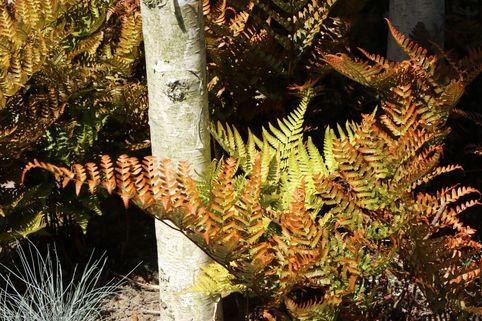 Rotschleierfarn - Dryopteris erythrosora
