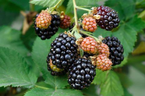 Rubus 'Boysenbeere' - Rubus 'Boysenbeere'