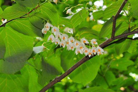 Rundblättriger Storaxbaum - Styrax obassia