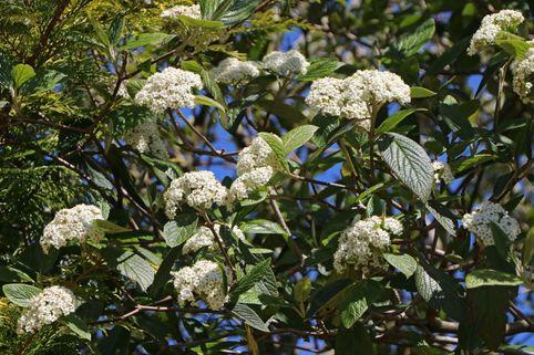 Runzelblättriger Schneeball / Immergrüner Zungenschneeball - Viburnum rhytidophyllum