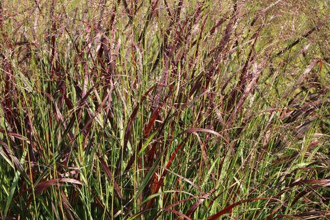 Ruten-Hirse 'Rotstrahlbusch' - Panicum virgatum 'Rotstrahlbusch'