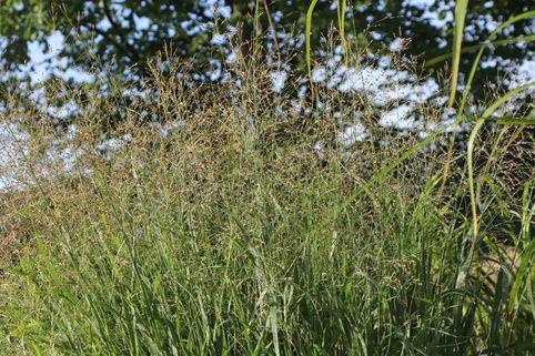 Ruten-Hirse 'Strictum' - Panicum virgatum 'Strictum'