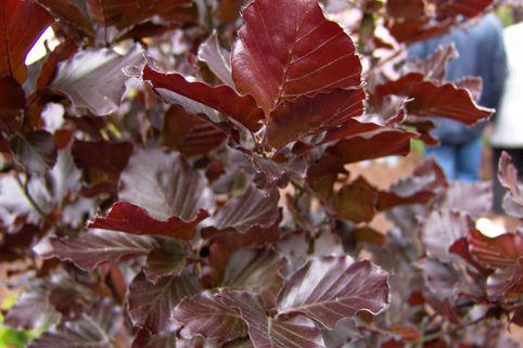 Säulen-Blutbuche 'Dawyck Purple' - Fagus sylvatica 'Dawyck Purple'