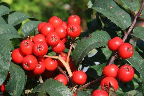 Säulen-Vogelbeere / Eberesche 'Fastigiata' - Sorbus aucuparia 'Fastigiata'