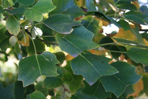 Säulen-Tulpenbaum 'Ardis' - Liriodendron tulipifera 'Ardis'
