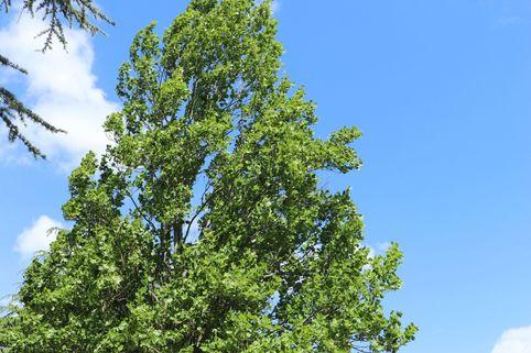 Säulen-Tulpenbaum - Liriodendron tulipifera 'Fastigiatum'
