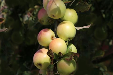 Säulenapfel 'Starline ®' / 'Golden Gate' (S) - Malus 'Starline' ® / 'Golden Gate' (S)