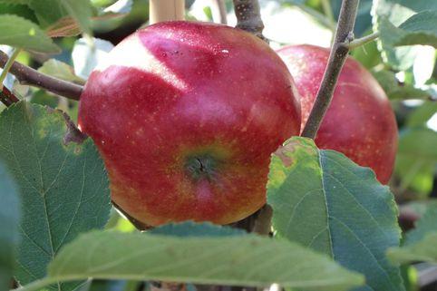 Apfel 'Wellant' ® / 'Fresco' - Malus domestica 'Wellant' ® / 'Fresco'