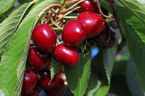 Säulenkirsche 'Sylvia'  ® - Prunus avium 'Sylvia'