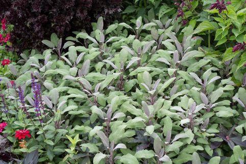 Salbei 'Purpurascens' - Salvia officinalis 'Purpurascens'