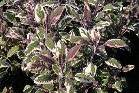 Salbei 'Tricolor' - Salvia officinalis 'Tricolor'