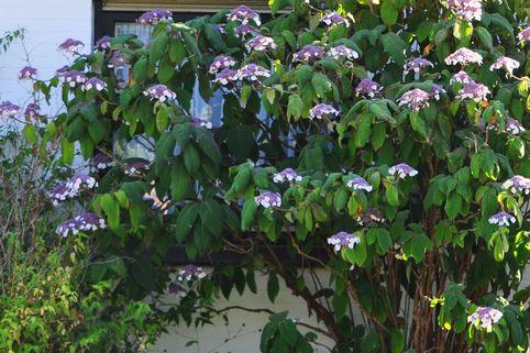 Samthortensie - Hydrangea sargentiana (aspera ssp. sargentiana)