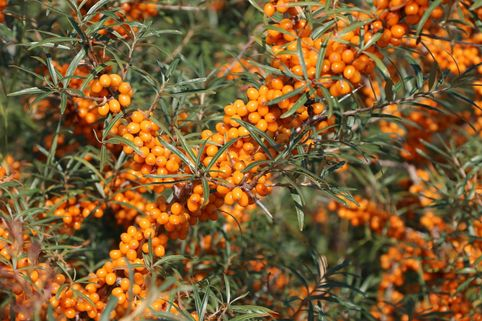 Sanddorn 'Orange Energy' ® / 'Habego' (S) - Hippophae rhamnoides 'Orange Energy' ® / 'Habego' (S)