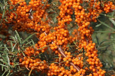 Sanddorn weiblich 'Askola' (S) - Hippophae rhamnoides 'Askola' (S)
