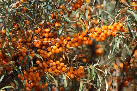Sanddorn weiblich 'Leikora' - Hippophae rhamnoides 'Leikora'