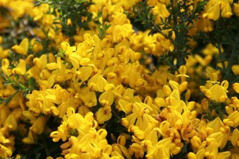 Sandginster 'Vancouver Gold' - Genista pilosa 'Vancouver Gold'