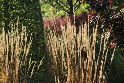 Sandrohr 'Karl Foerster' - Calamagrostis x acutiflora 'Karl Foerster'