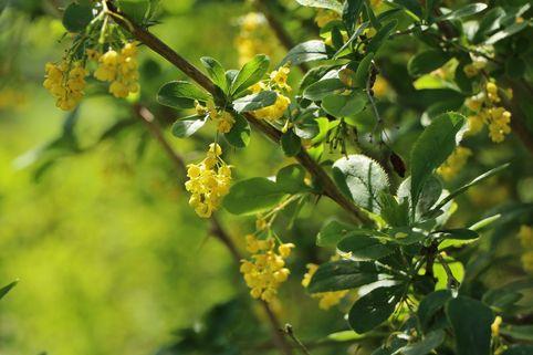 Sauerdorn / gemeine Berberitze - Berberis vulgaris