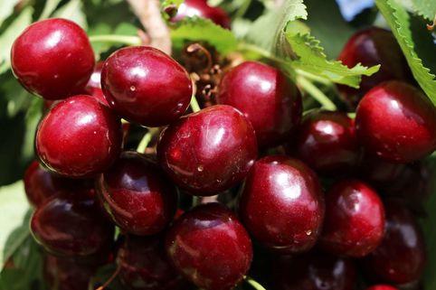 Sauerkirsche 'Köröser Weichsel' - Prunus 'Köröser Weichsel'