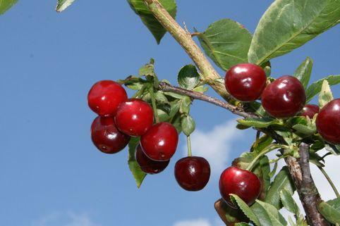 Sauerkirsche 'Korund' - Prunus cer. 'Korund'