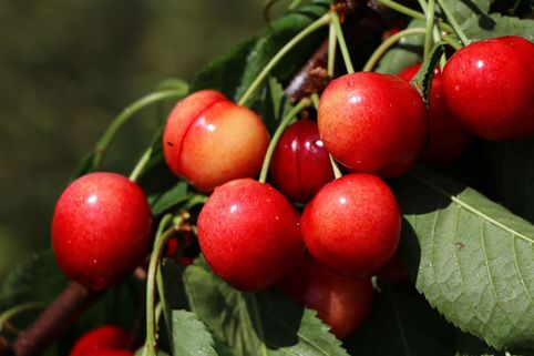 Sauerkirsche 'Morellenfeuer' / 'Kelleriis 16' - Prunus 'Morellenfeuer' / 'Kelleriis 16'