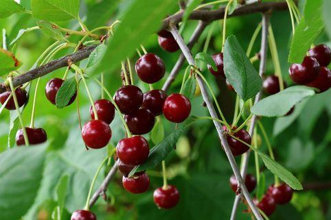 Sauerkirsche 'Stevnsbaer' - Prunus 'Stevnsbaer'