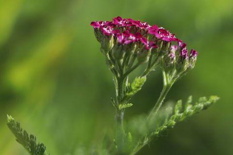 Schafgarbe 'Cerise Queen' - Achillea millefolium 'Cerise Queen'
