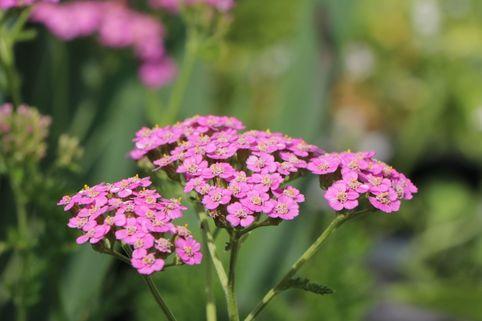 Schafgarbe 'Kelwayi' - Achillea millefolium 'Kelwayi'