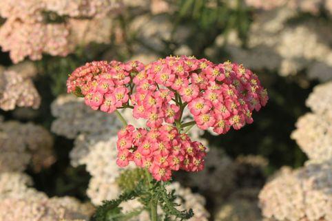 Schafgarbe 'Lachsschönheit' - Achillea millefolium 'Lachsschönheit'