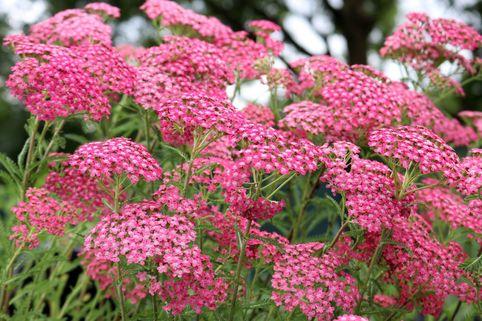 Schafgarbe 'Lilac Beauty' - Achillea millefolium 'Lilac Beauty'