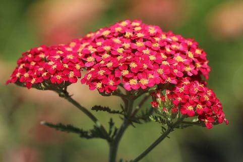 Schafgarbe 'Paprika' - Achillea millefolium 'Paprika'