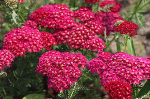 Schafgarbe 'Pomegranate' ® - Achillea millefolium 'Pomegranate' ®