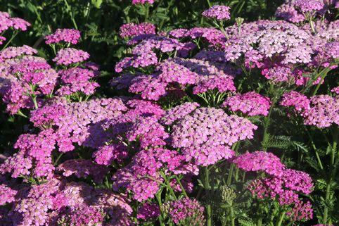 Schafgarbe 'Pretty Belinda' - Achillea millefolium 'Pretty Belinda'