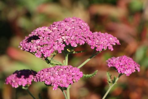 Schafgarbe 'Saucy Seduction' - Achillea millefolium 'Saucy Seduction'