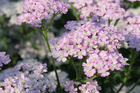 Schafgarbe 'Wonderful Wampee' - Achillea millefolium 'Wonderful Wampee'