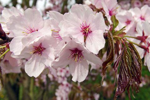 Scharlach-Kirsche Veredlung - Prunus sargentii Veredlung