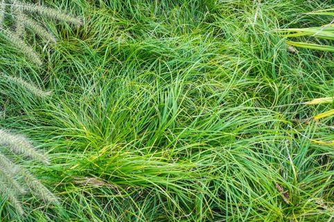 Schatten-Segge - Carex umbrosa