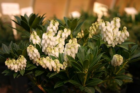 Schattenglöckchen 'Cavatine' - Pieris japonica 'Cavatine'