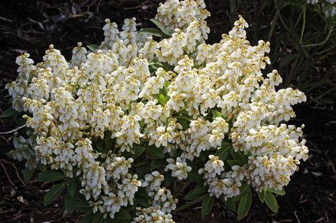 Schattenglöckchen 'Debutante' - Pieris japonica 'Debutante'