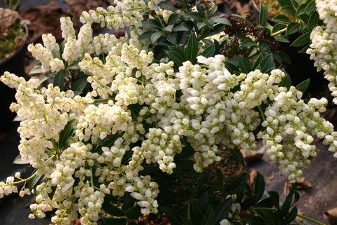 Schattenglöckchen 'Prelude' - Pieris japonica 'Prelude'