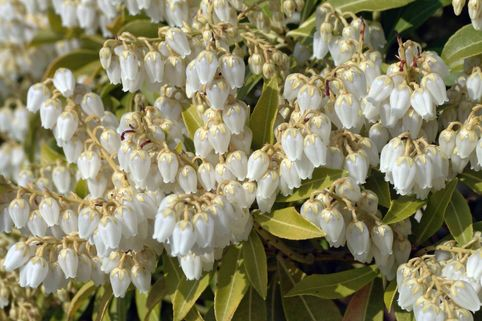 Schattenglöckchen 'Purity' - Pieris japonica 'Purity'