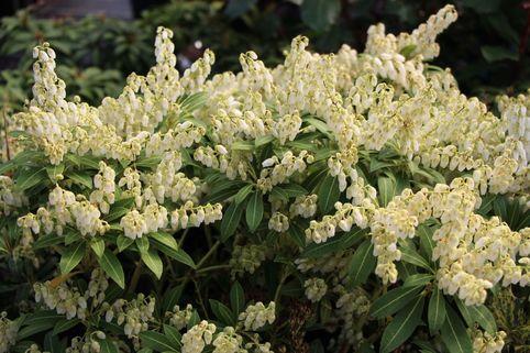 Schattenglöckchen 'Rondo' - Pieris japonica 'Rondo'
