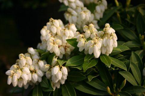 Schattenglöckchen 'Sarabande' - Pieris japonica 'Sarabande'