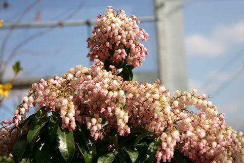 Schattenglöckchen 'Valley Rose' - Pieris japonica 'Valley Rose'