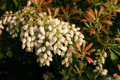Schattenglöckchen 'White Cascade' - Pieris japonica 'White Cascade'
