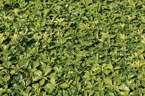Schattengrün 'Green Carpet' ® - Pachysandra terminalis 'Green Carpet' ®