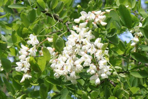 Schein-Akazie - Robinia pseudoacacia
