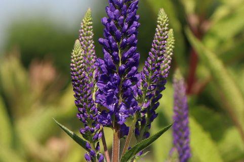 Scheinähriger Ehrenpreis 'First Glory' - Veronica longifolia 'First Glory'